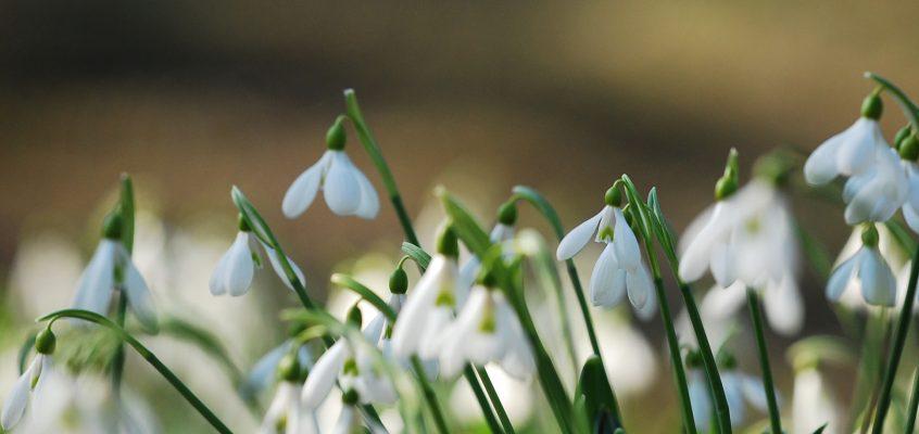 A hóvirág most virágzik tagkertjeinkben.